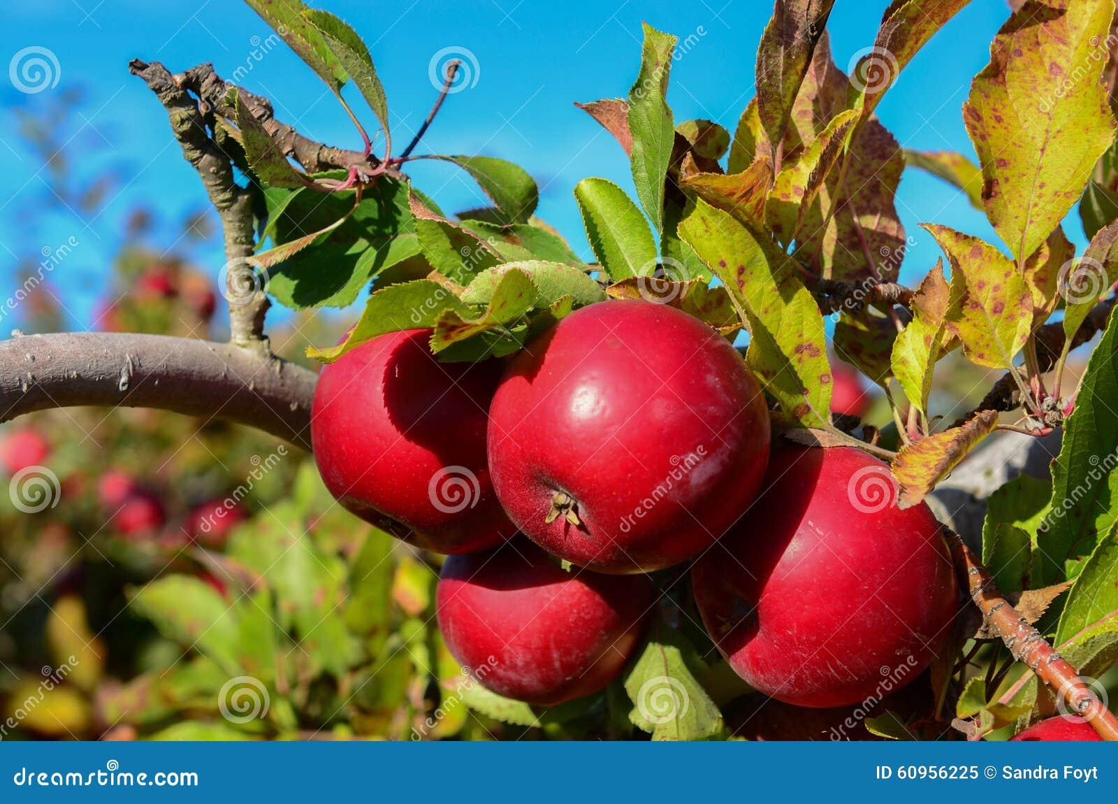 Äpplen på filial