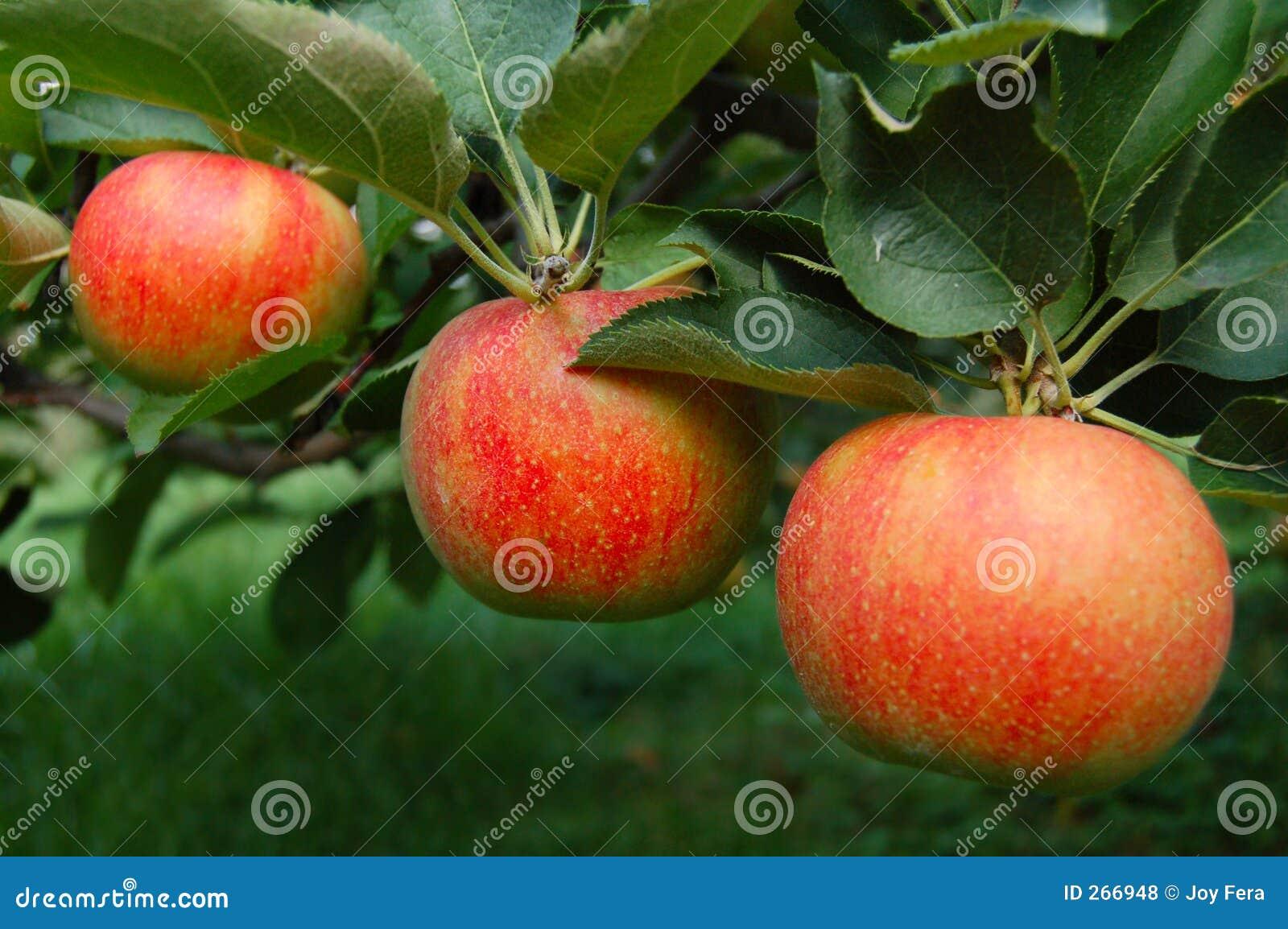 äpplen ripened treen