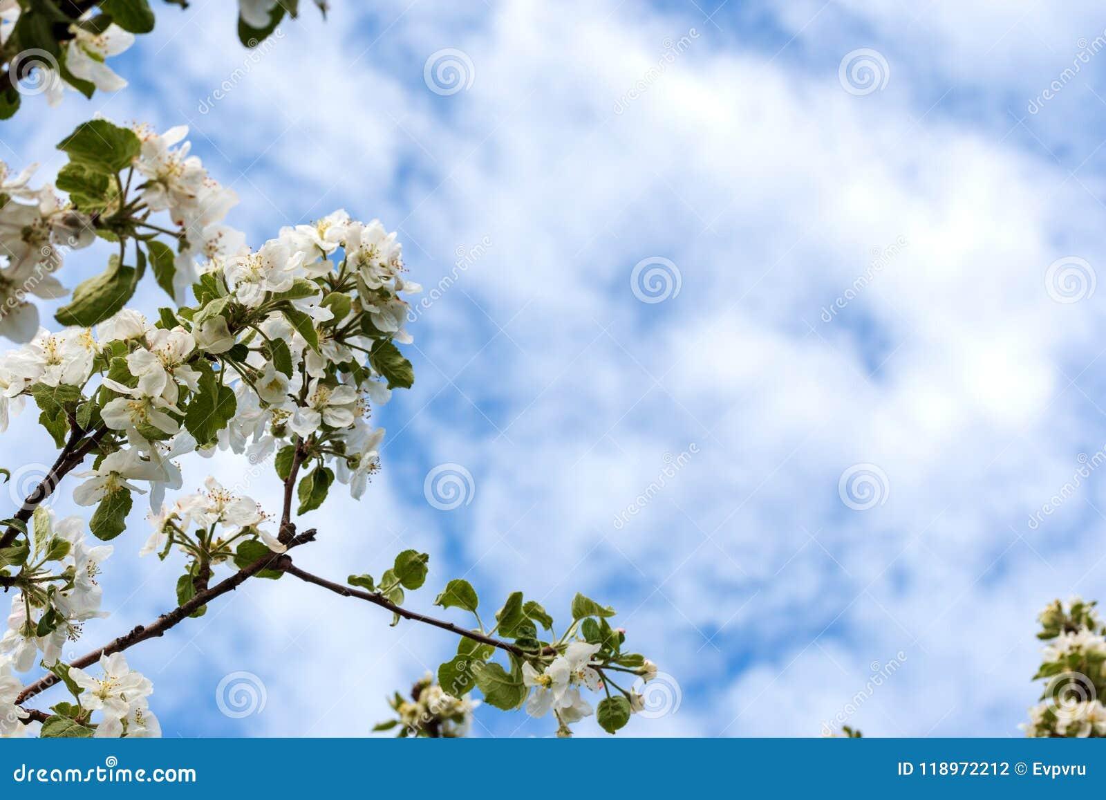 äpplet blommar treen