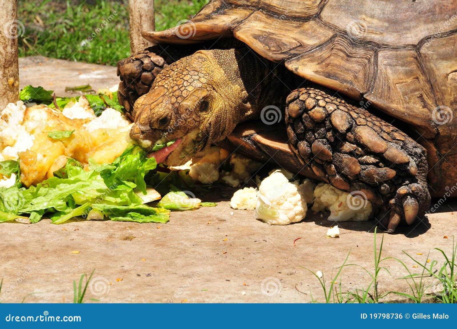 äta den jätte- sköldpaddan