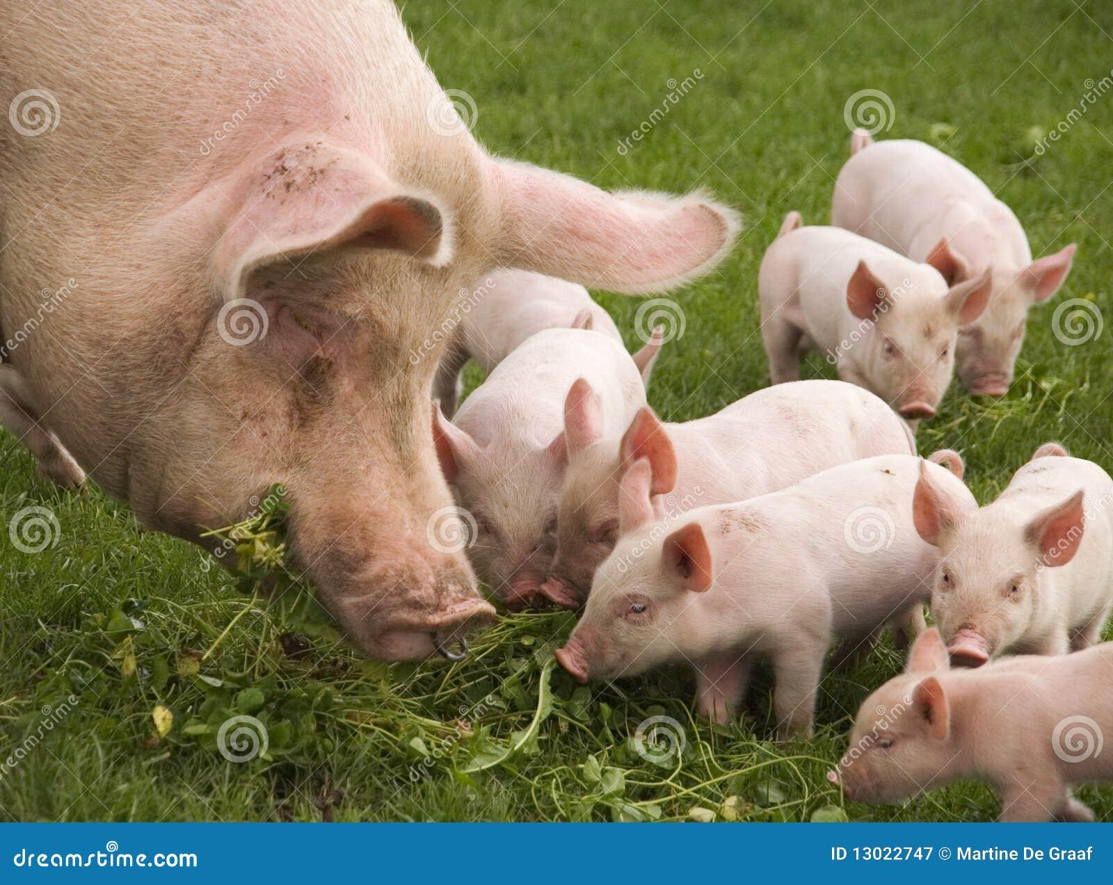 äta pigs