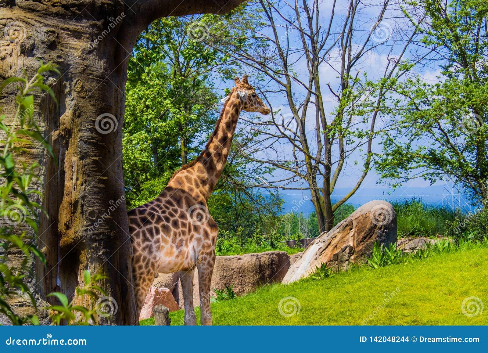 单独走05-15-2015的长颈鹿