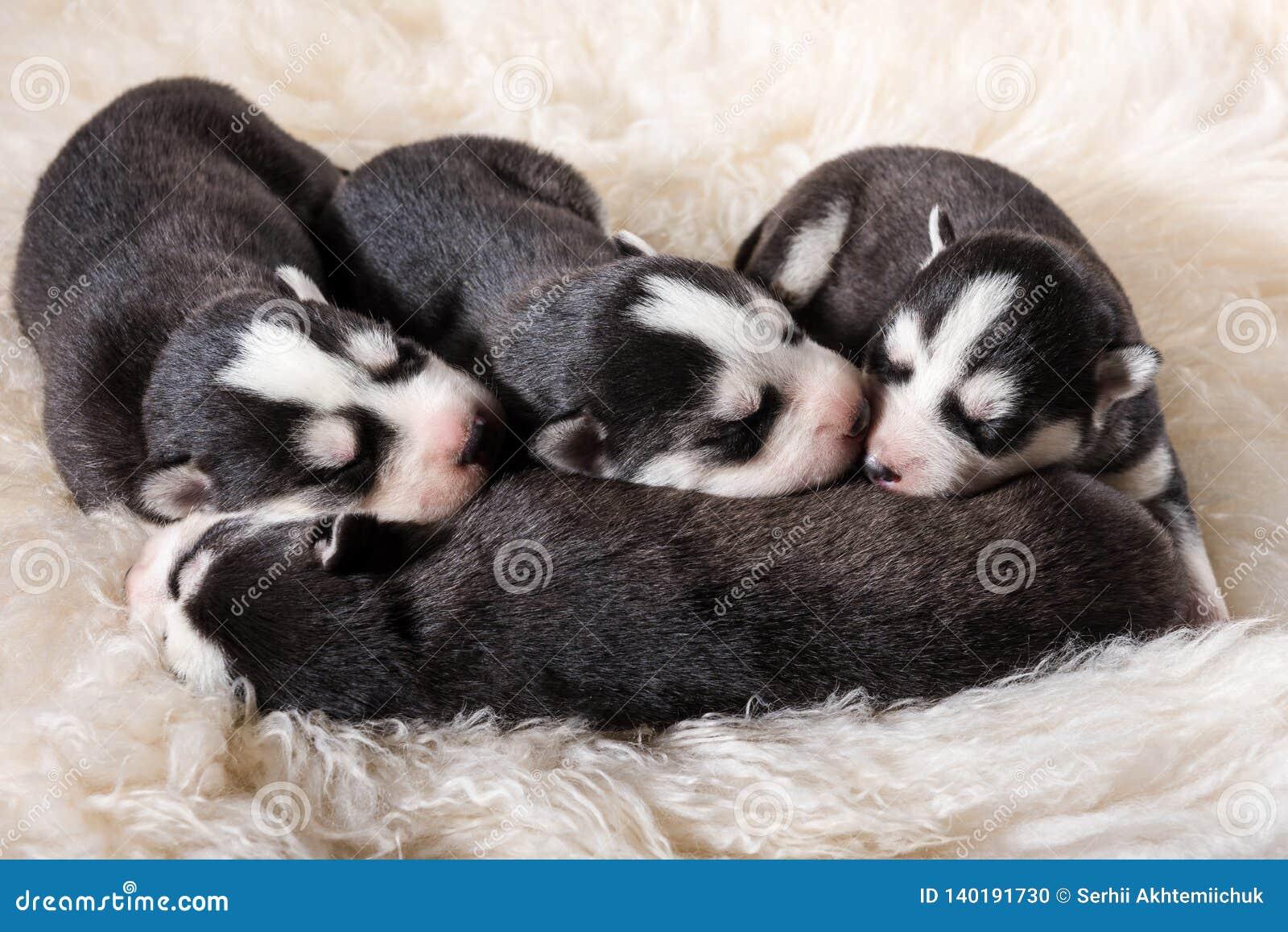 可爱的新出生的多壳的小狗