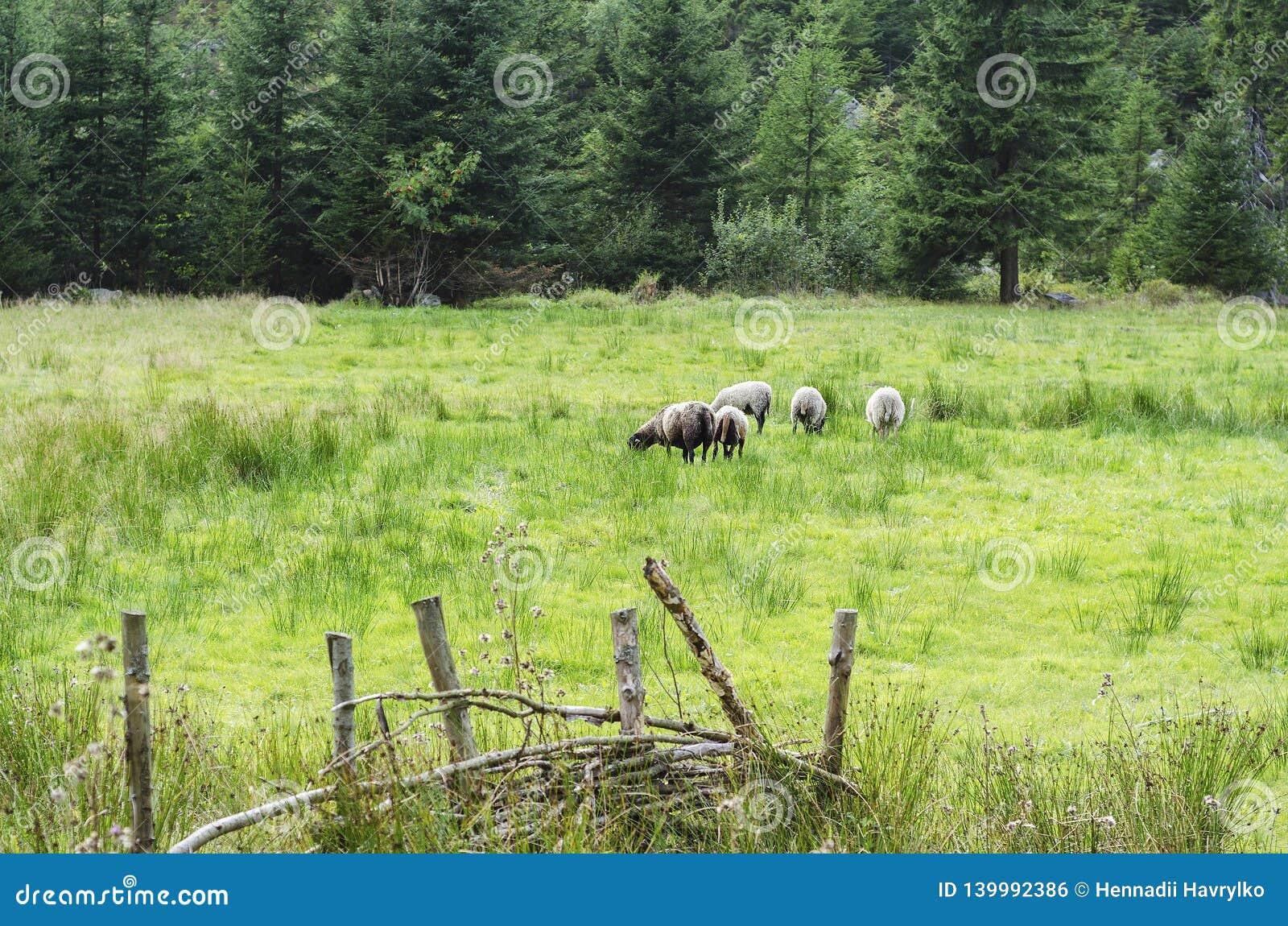 吃草在森林2的水多的草的山羊和羊羔
