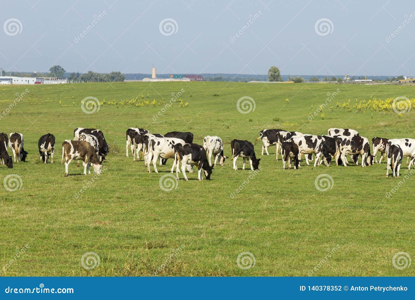 吃草在草一个豪华的绿色牧场地的幼小母牛和小牝牛牧群在一美好的好日子 在a的黑白母牛