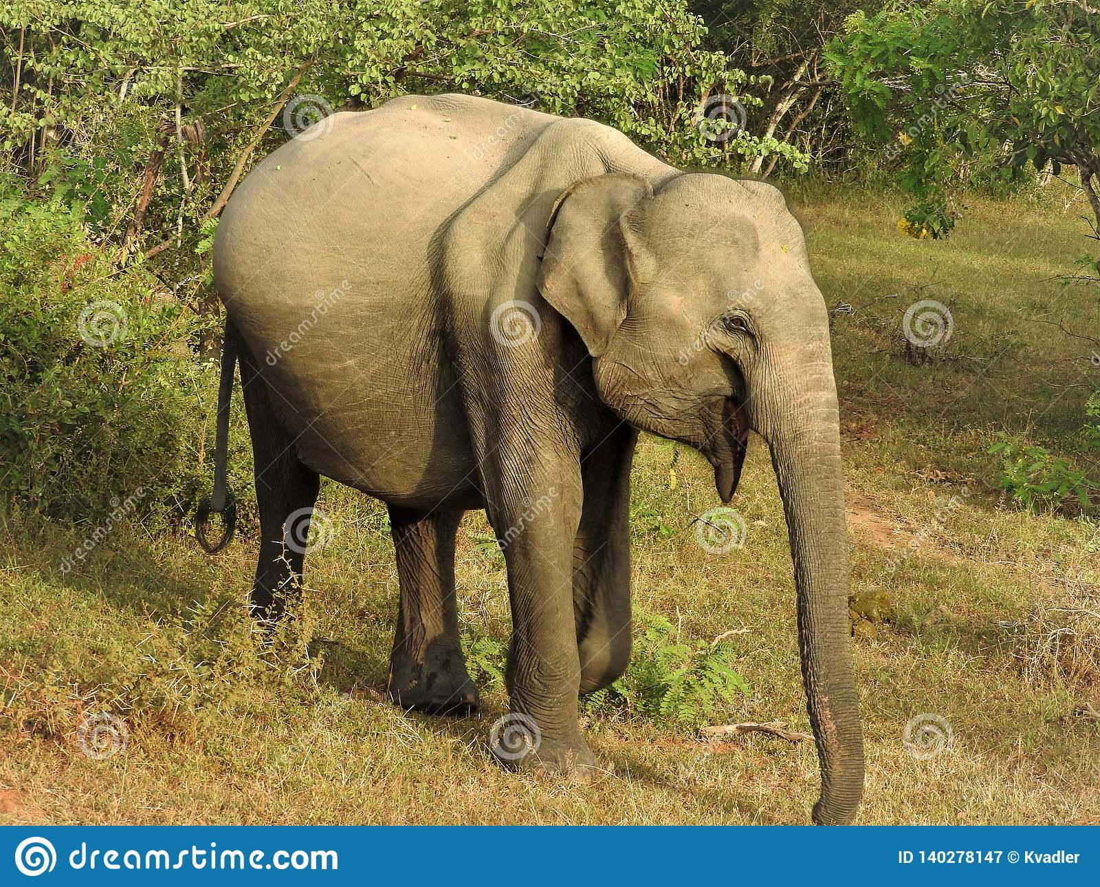 婴孩大象在绿色密林走在一清楚的好日子在亚拉国立公园在斯里兰卡