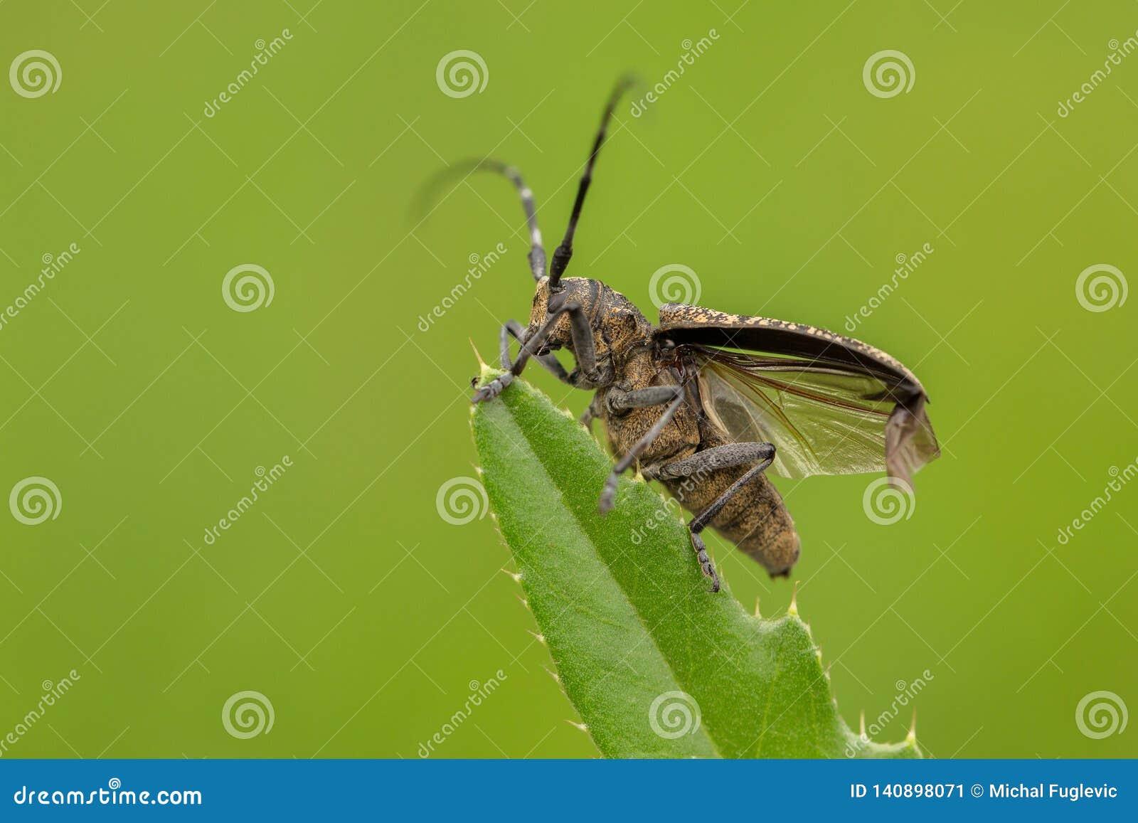 小白的marmorated长有角的甲虫Monochamus sutor在捷克