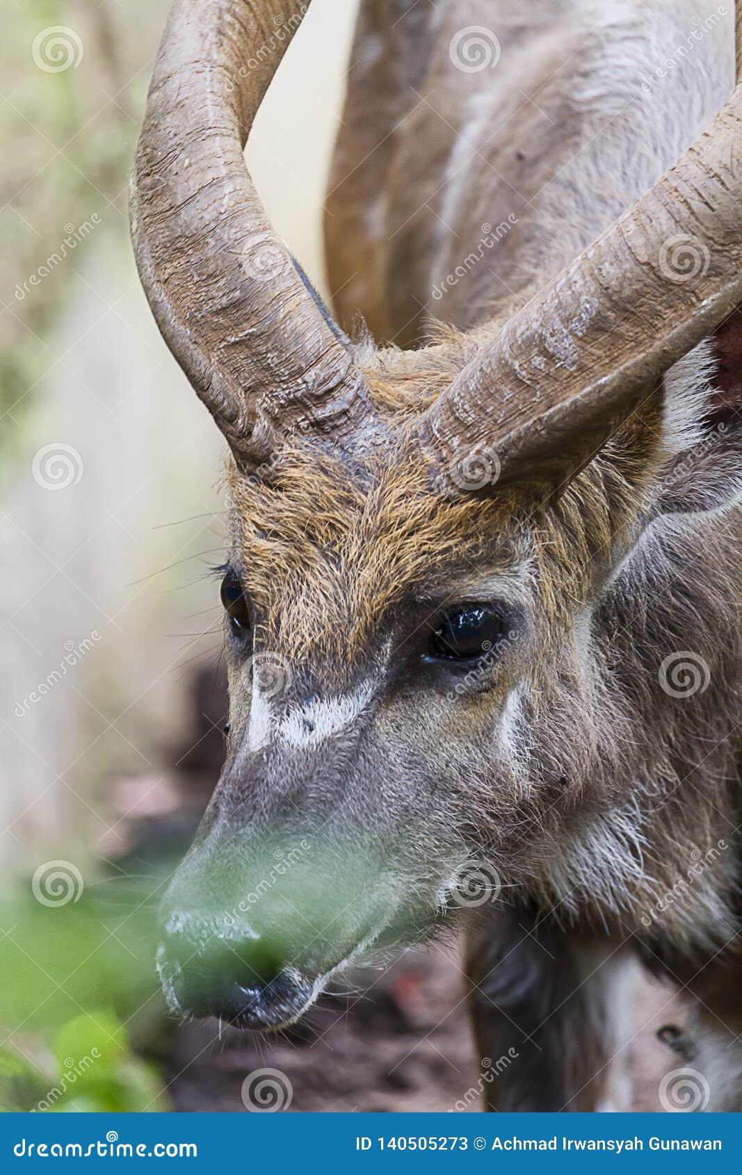 年轻Kudu男性,射击,美丽的动物的顶头关闭