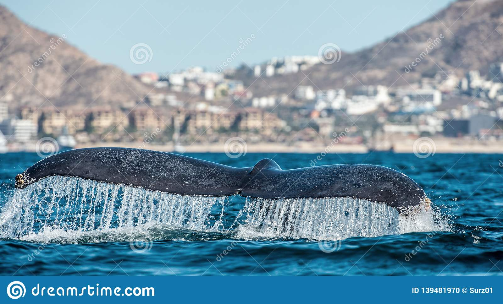 强大驼背鲸Megaptera novaeangliae的尾