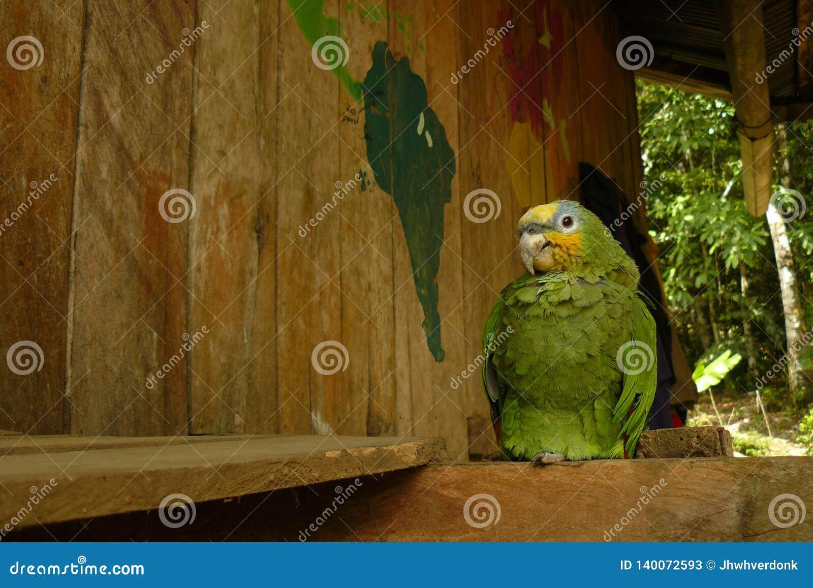 Żółta głowiasta papuga umieszczał puszek w drewnianym domu w dżungli obok mapy świat