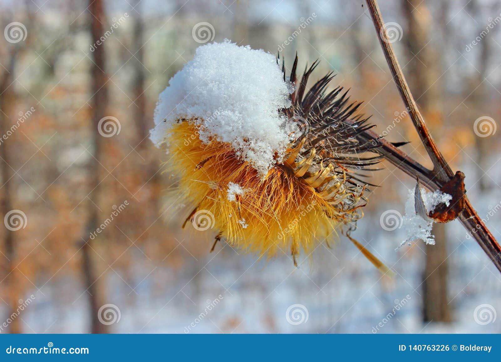 Żółty jesień kwiat pod śniegiem miasto jak park Ranku mróz, wilgotność