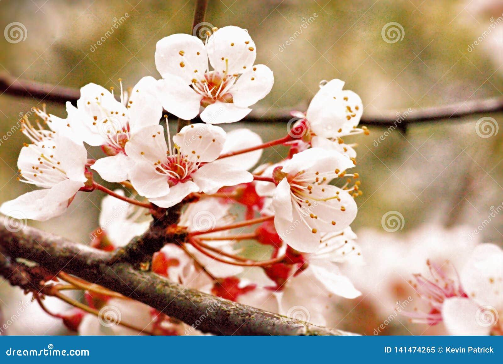 开花在春天阳光下的樱花定期的野黑樱桃开花
