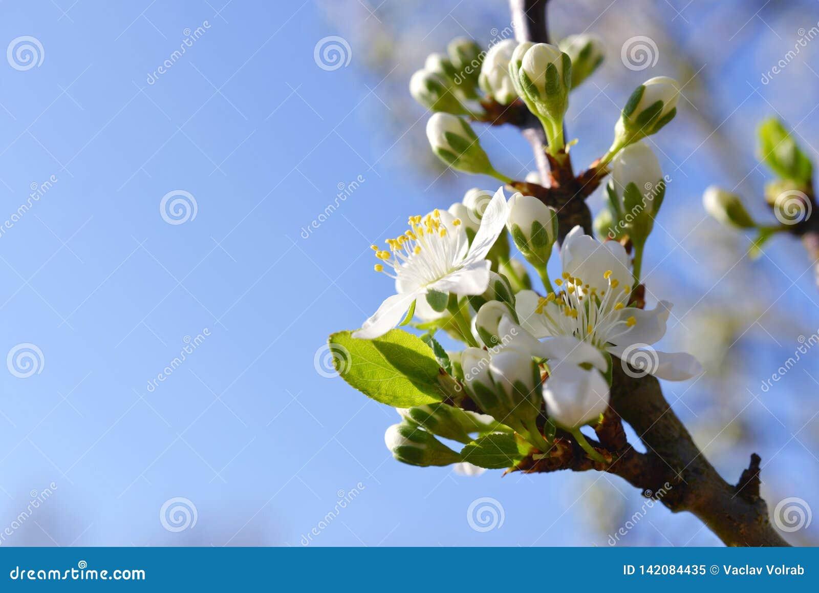 开花的洋李,与白花的分支在模糊的自然背景