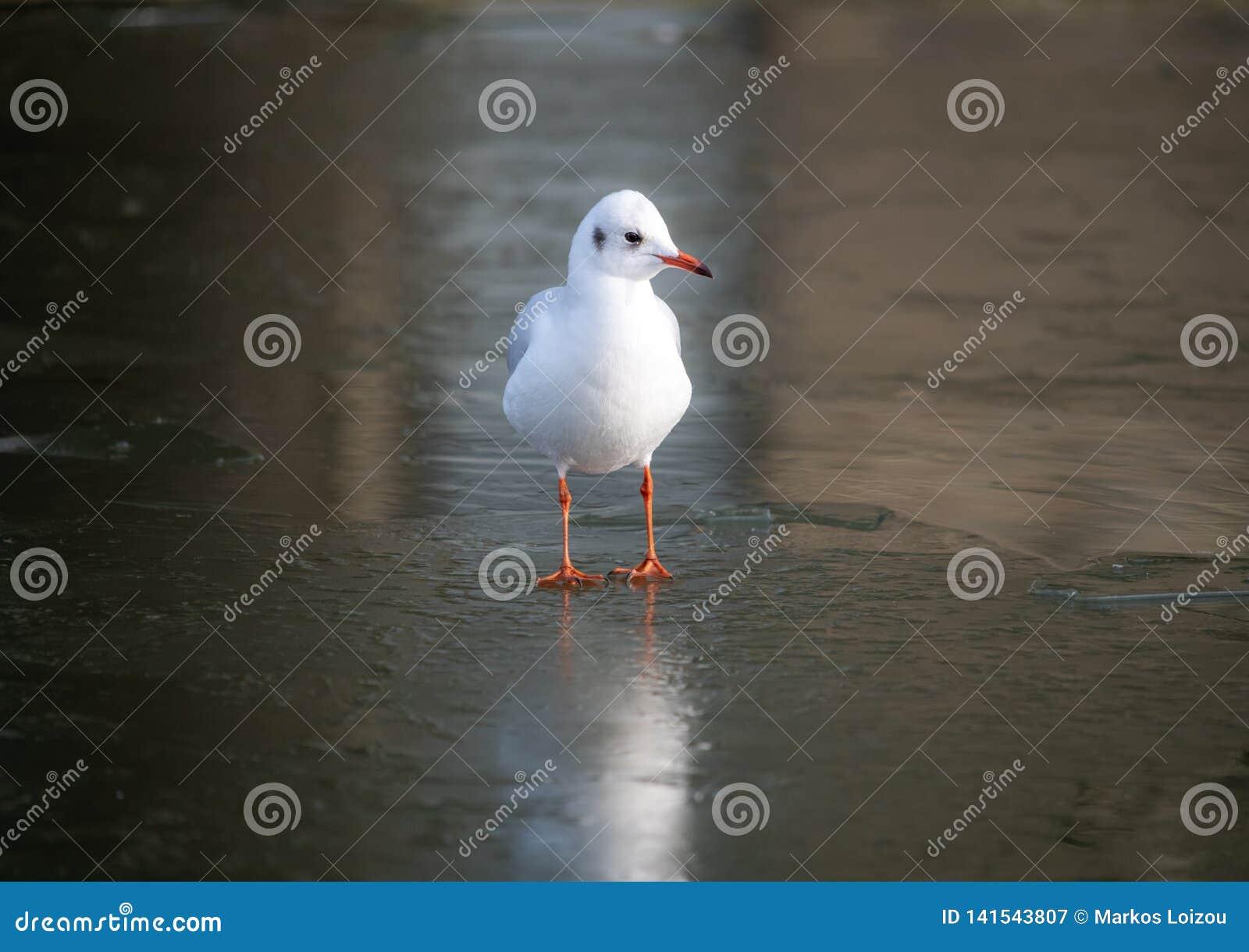 在一条冻河,剑桥,英国的一个共同的海鸥身分
