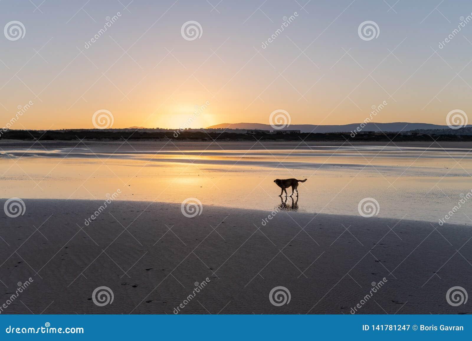 在德西迪Kaouki,摩洛哥,非洲海岸的狗  风险轻率冒险日落时间 美妙摩洛哥的海浪镇
