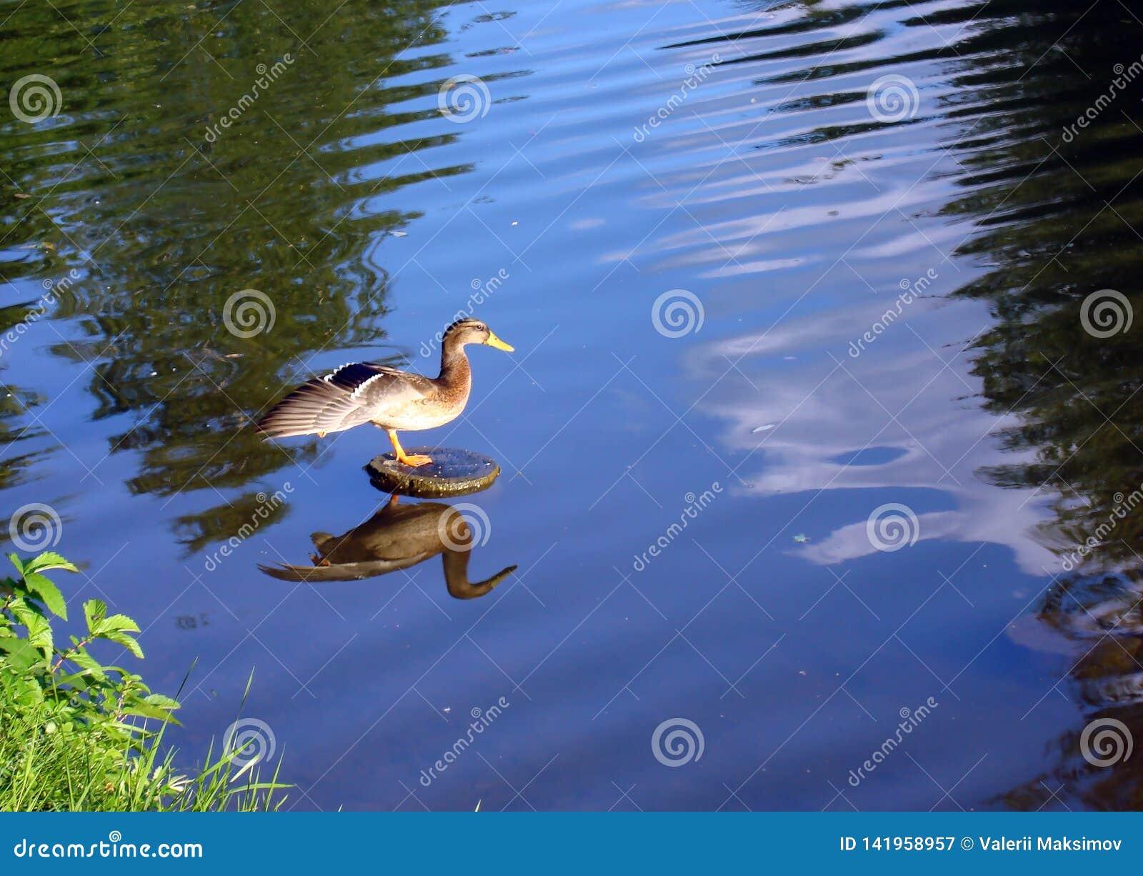 在城市湖的鸭子有被涂的翼的