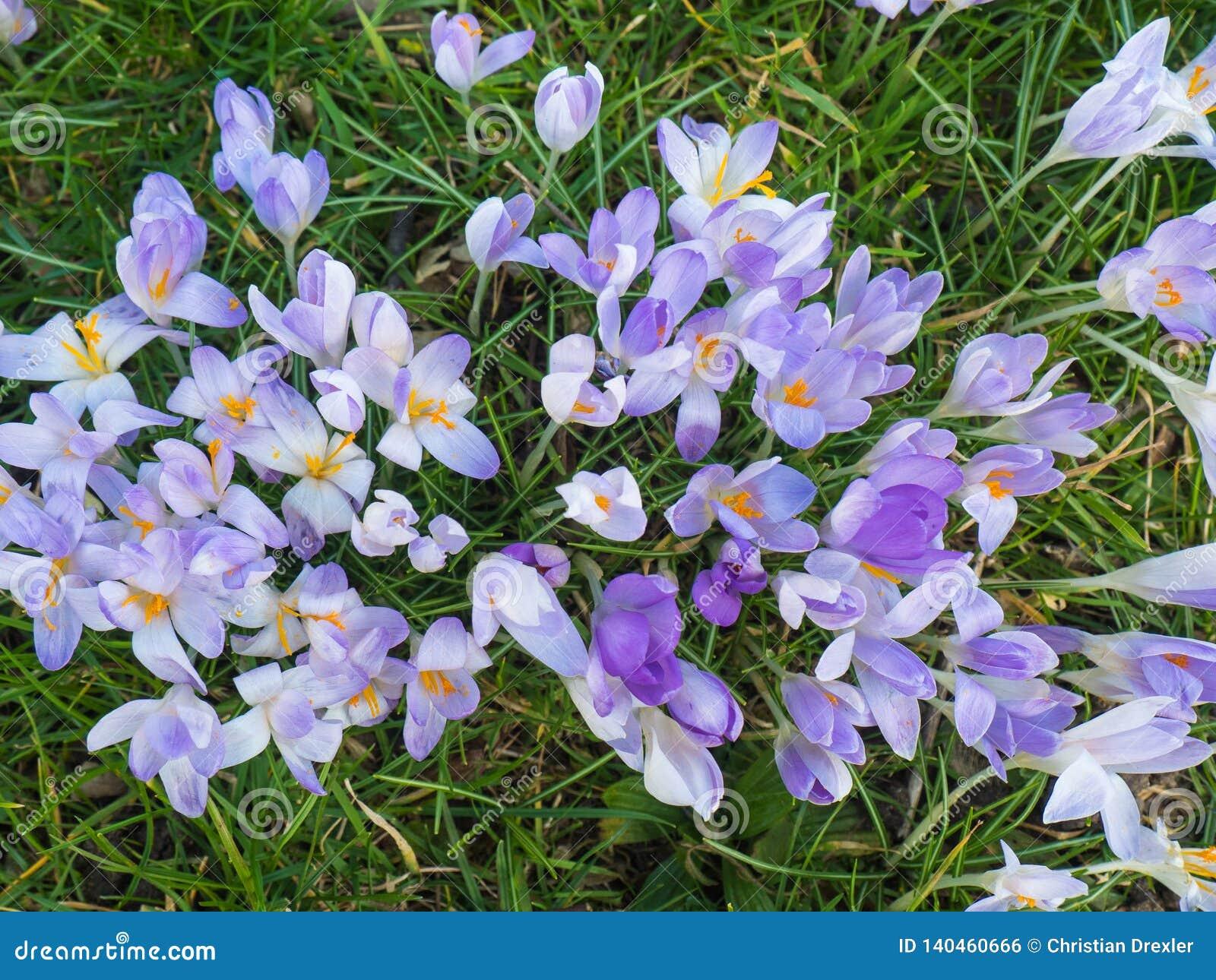 在植物群的紫罗兰色花在科隆,德国,是第一棵开花的植物在春天