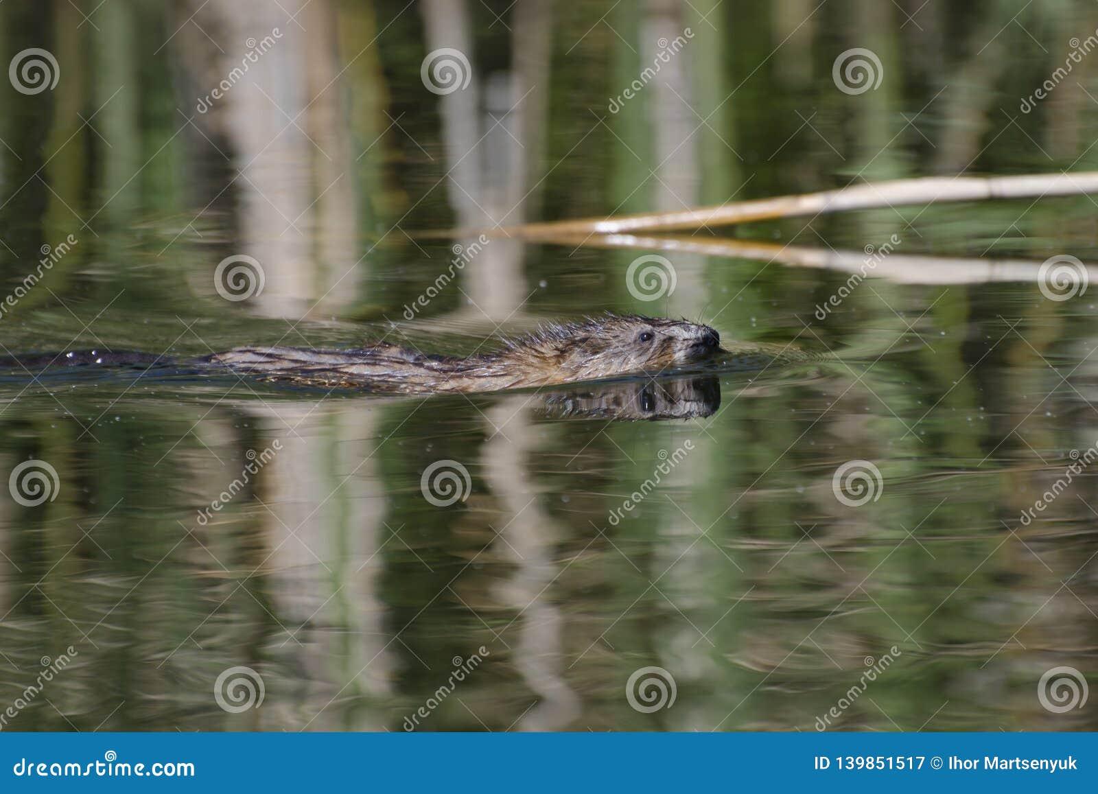 在河的Nutria浮游物