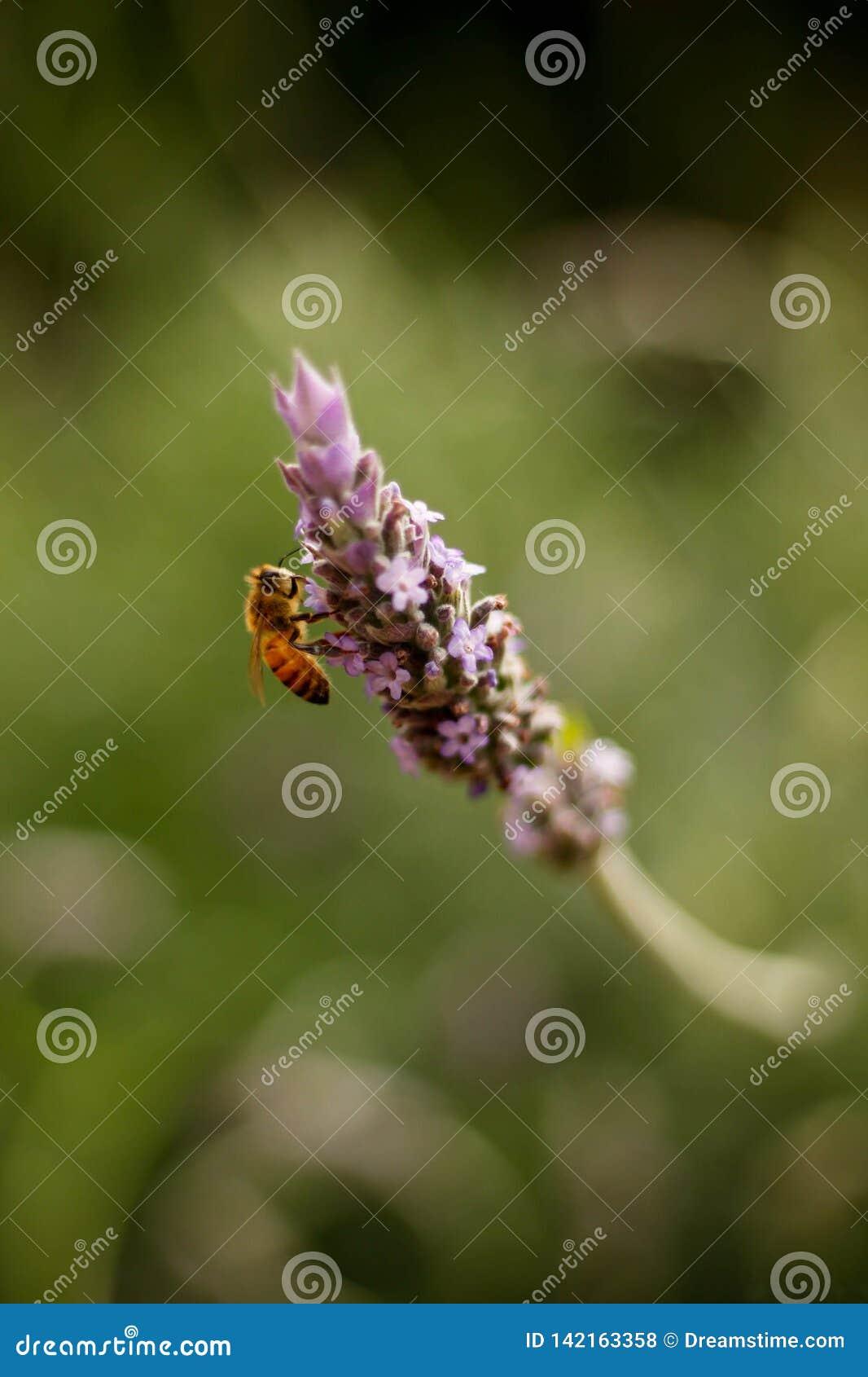在淡紫色的蜂工作