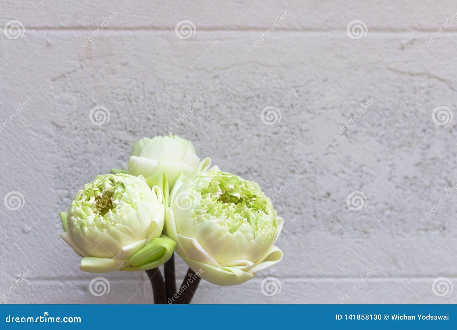 在混凝土墙白色背景隔绝的三莲花绿色芽的设计
