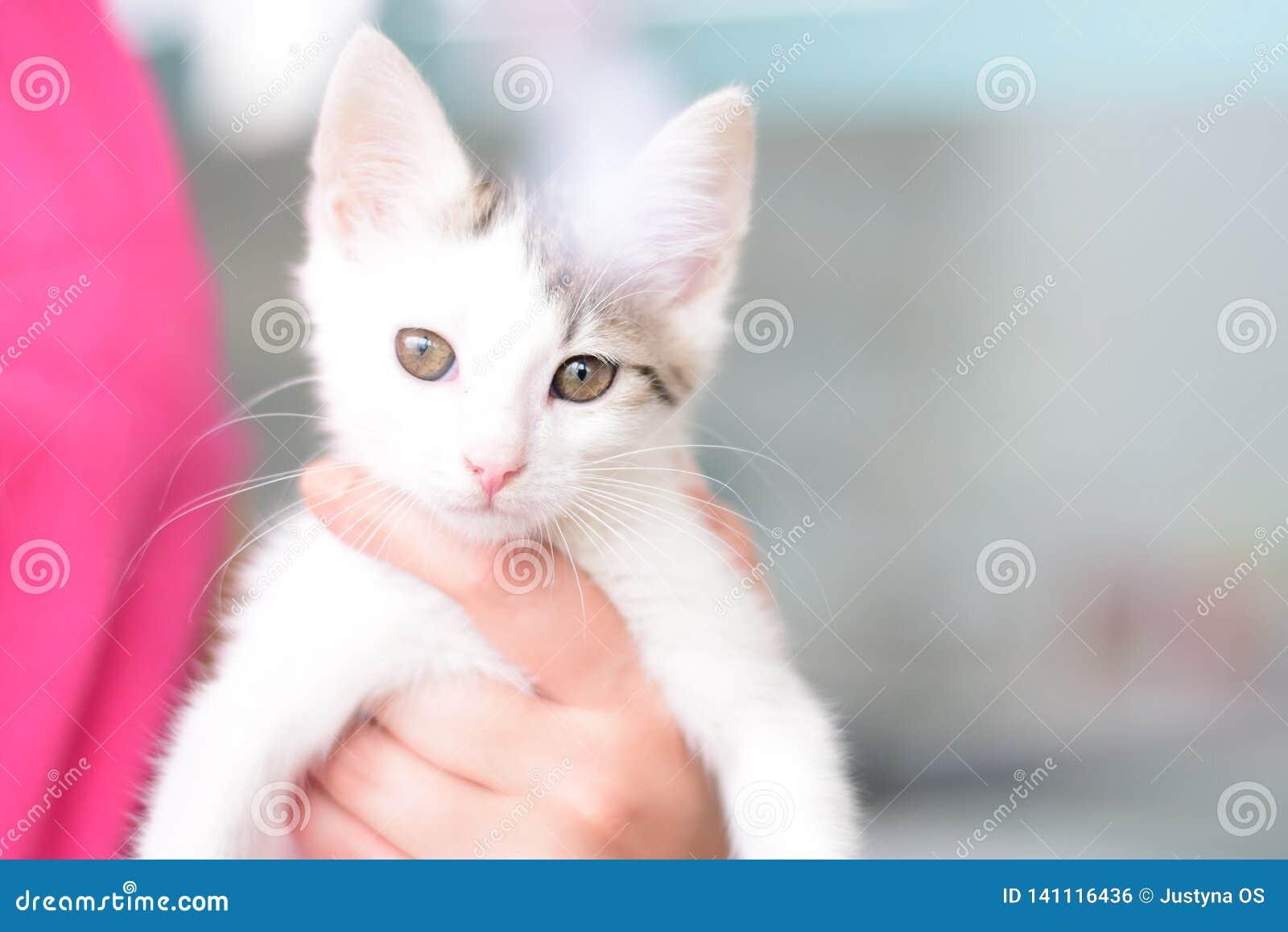 在手上的被隔绝的白色美丽的猫有磁性眼睛的由一个兽医诊所的一个兽医助理举行 看凸轮