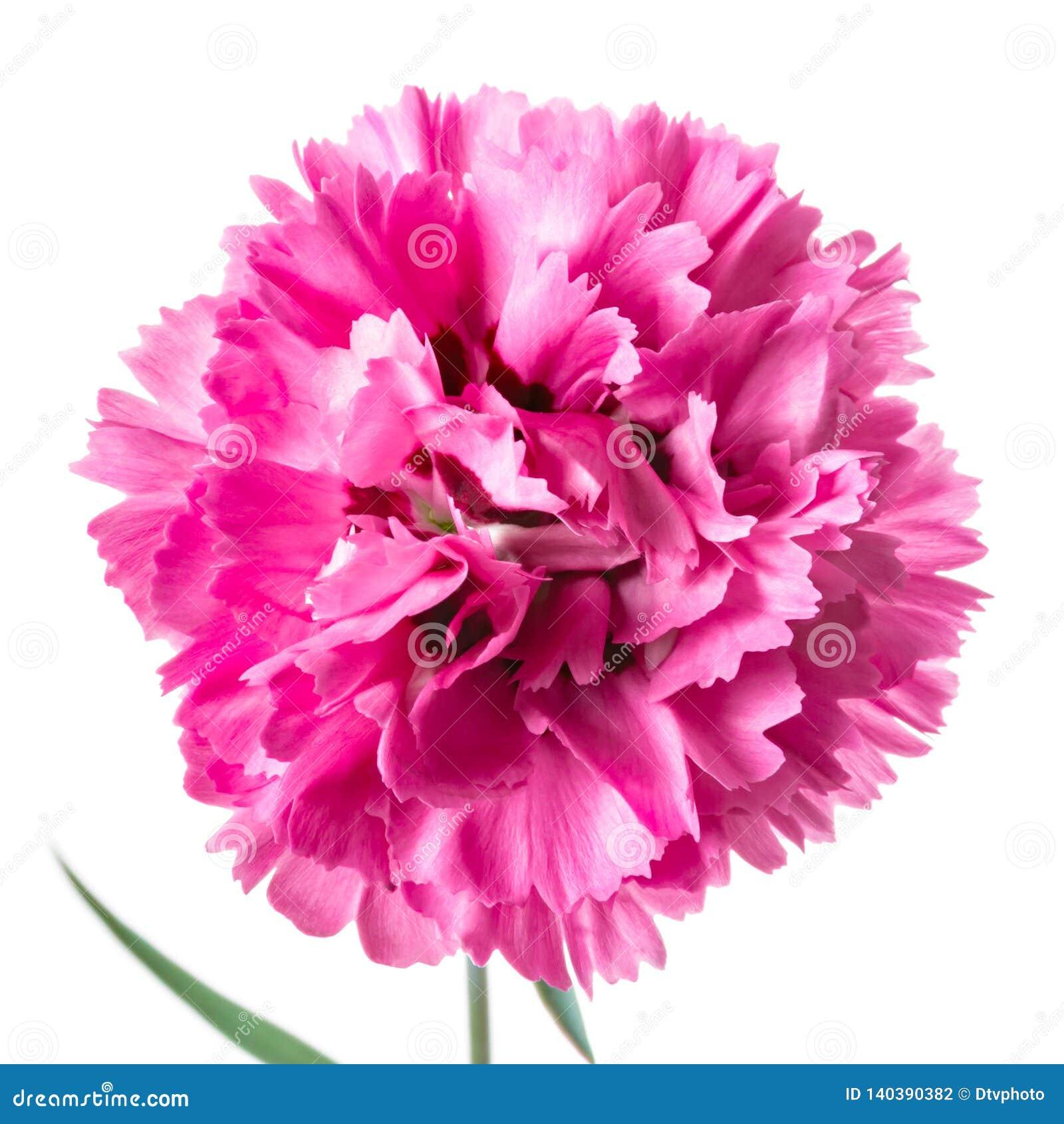 在白色隔绝的唯一桃红色顶头康乃馨花