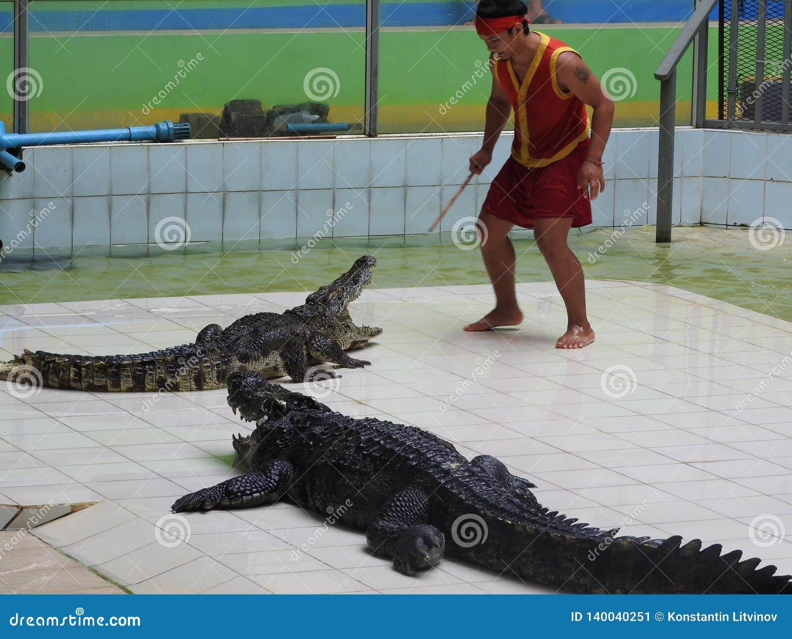在训练在亭子,泰国过程中的大和老鳄鱼