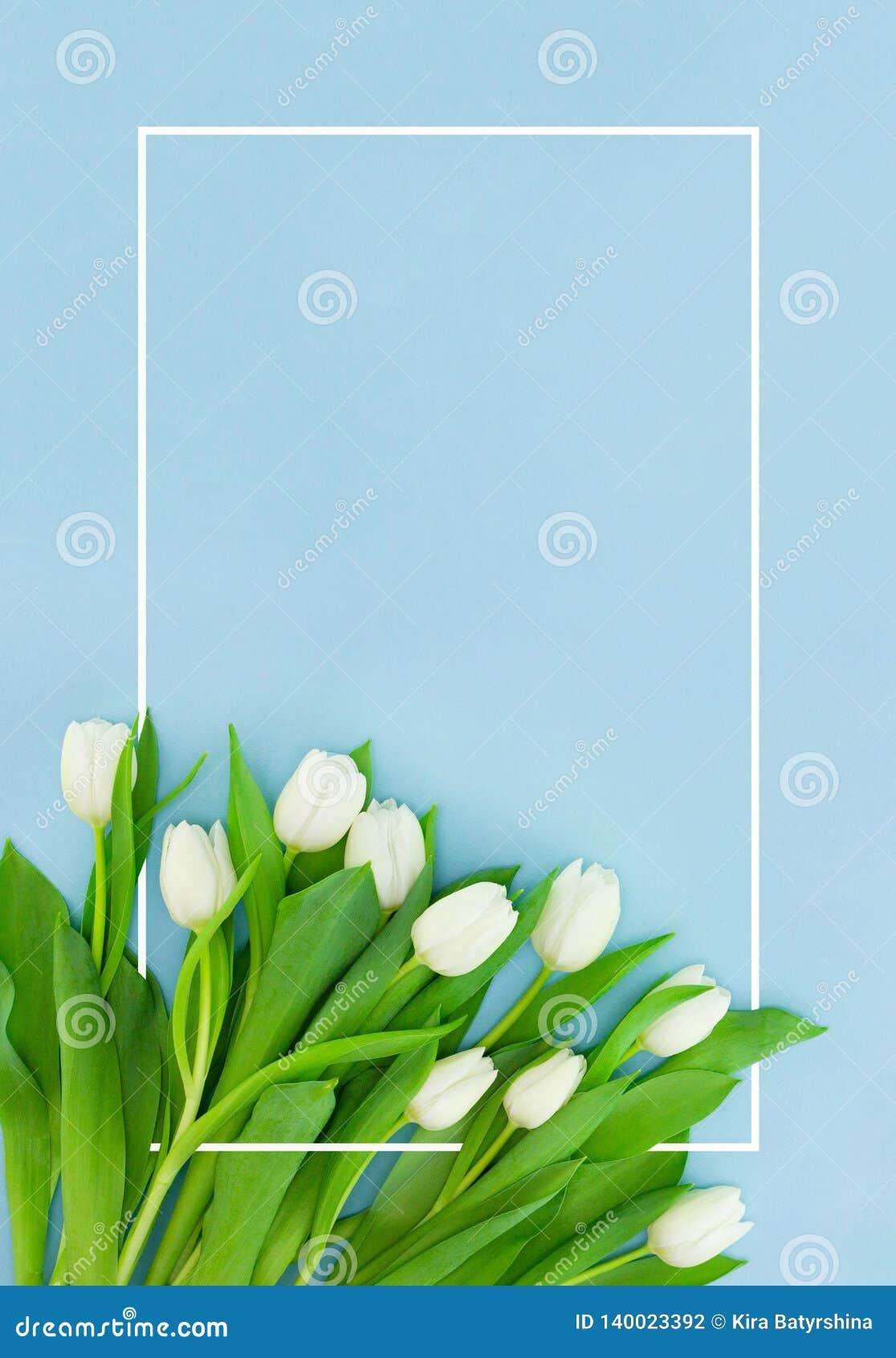 在蓝色背景与框架,花明信片的白色郁金香妇女的天、母亲节或者销售概念的 花卉春天
