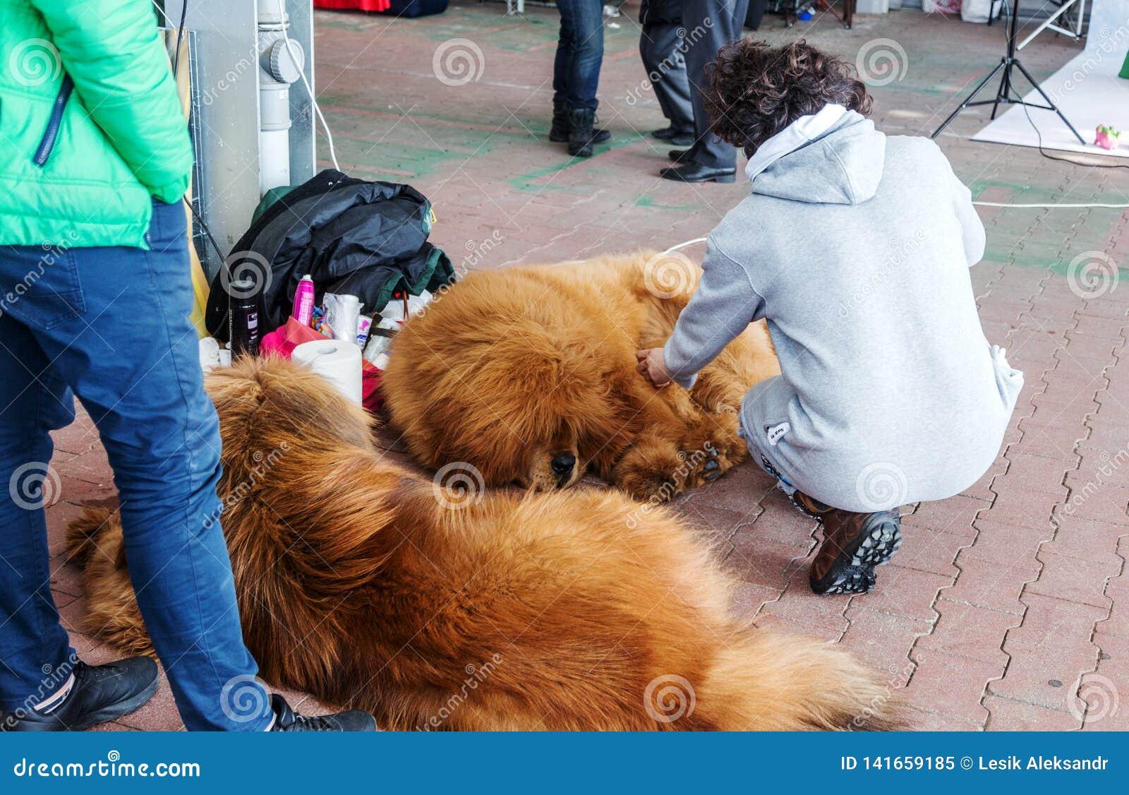 傲德萨,乌克兰2019年3月5日:在一次狗展示的迷人的良种穿着考究的狗与他们的所有者和教练员