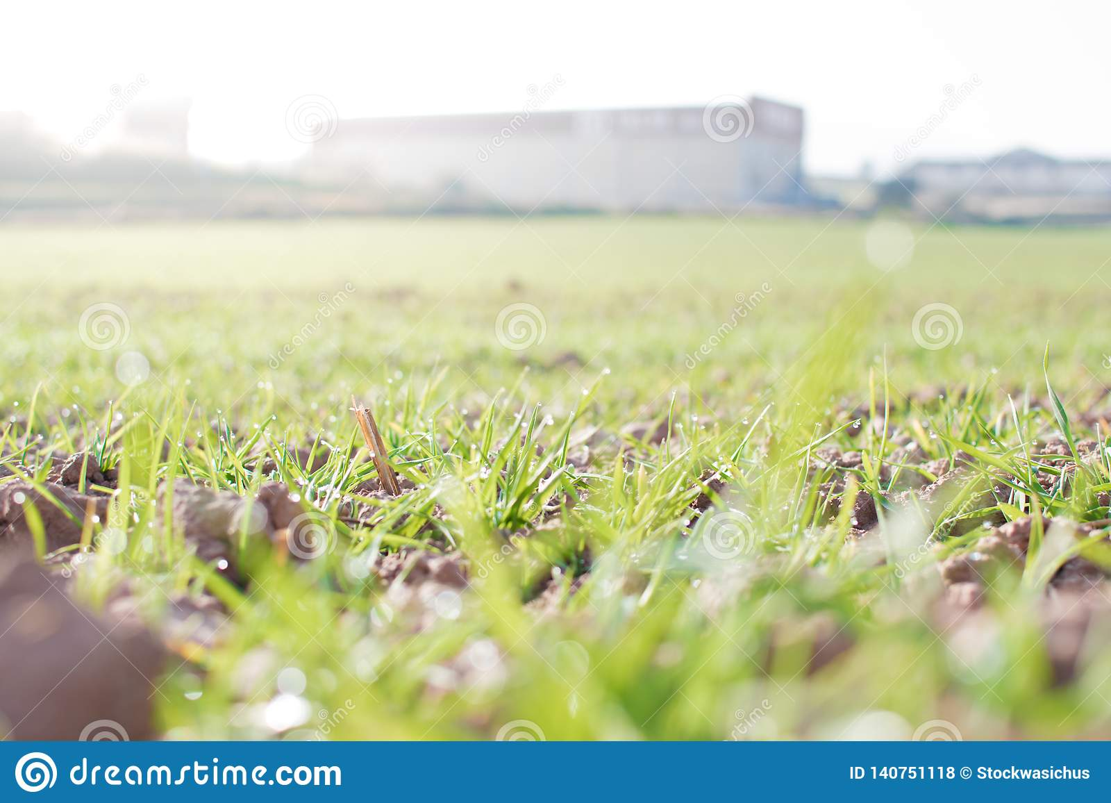 农田和产业背景 麦子新芽在庄稼的