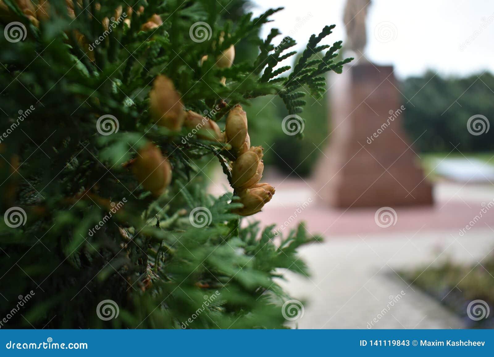 关闭生长在庭院里的年轻金钟柏常青灌木种子室外在夏天