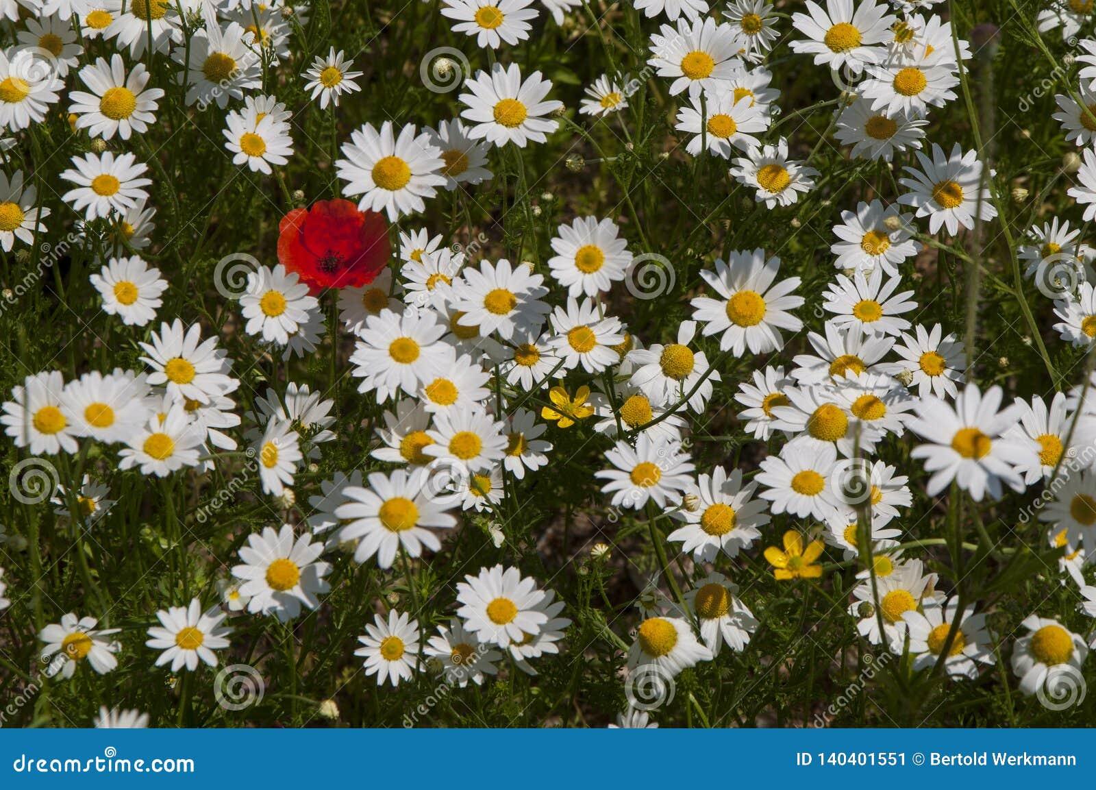 充分草甸开花的延命菊