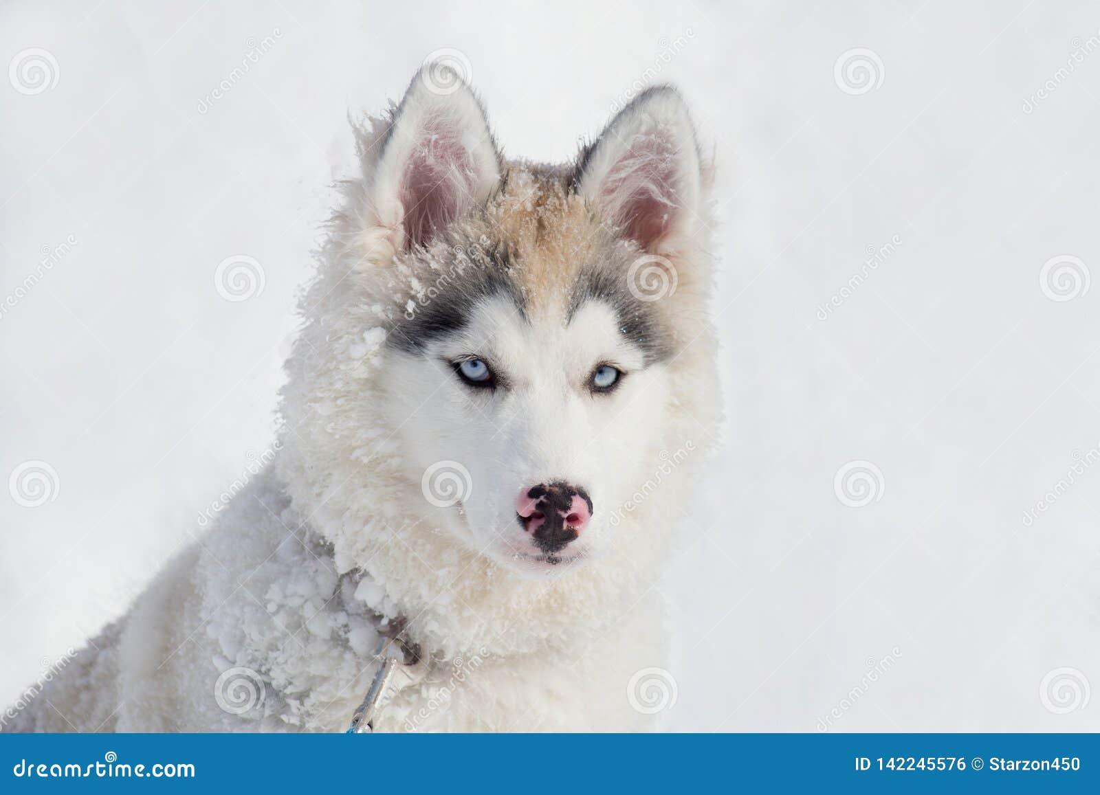 Śliczny siberian husky szczeniak siedzi na białym śniegu Trzy miesiąca starego Zwierząt domowych zwierzęta