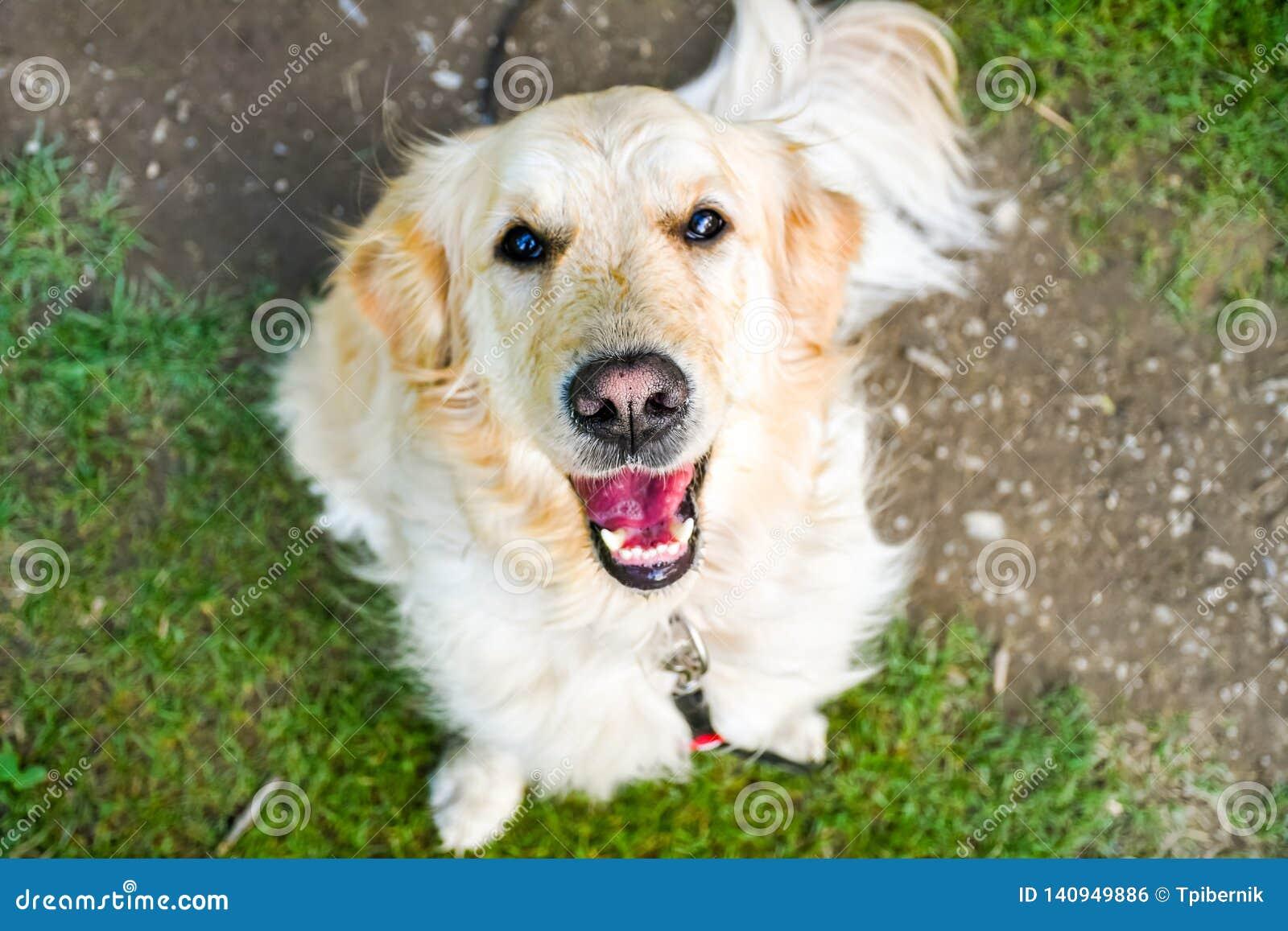 Śmieszny uśmiechnięty pies z czerwonawym nosem