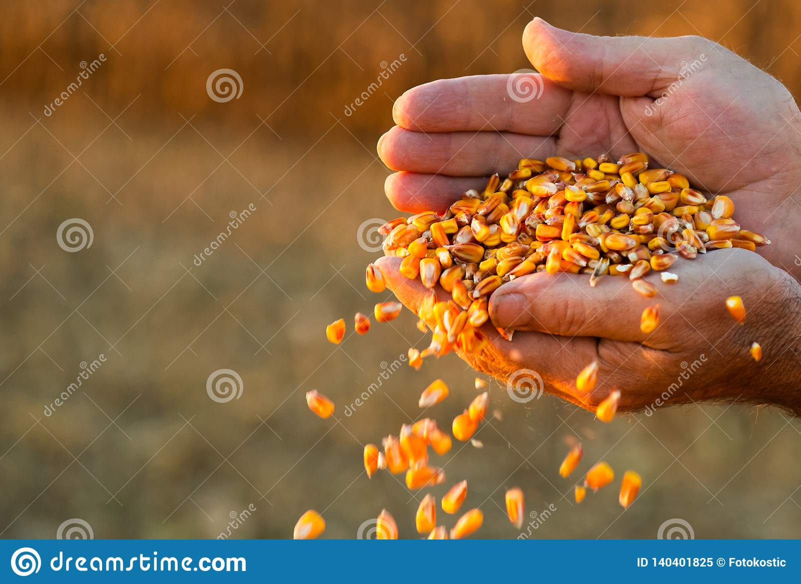 Średniorolnego mienia dojrzała kukurudza groszkuje w jego rękach przy zmierzchem