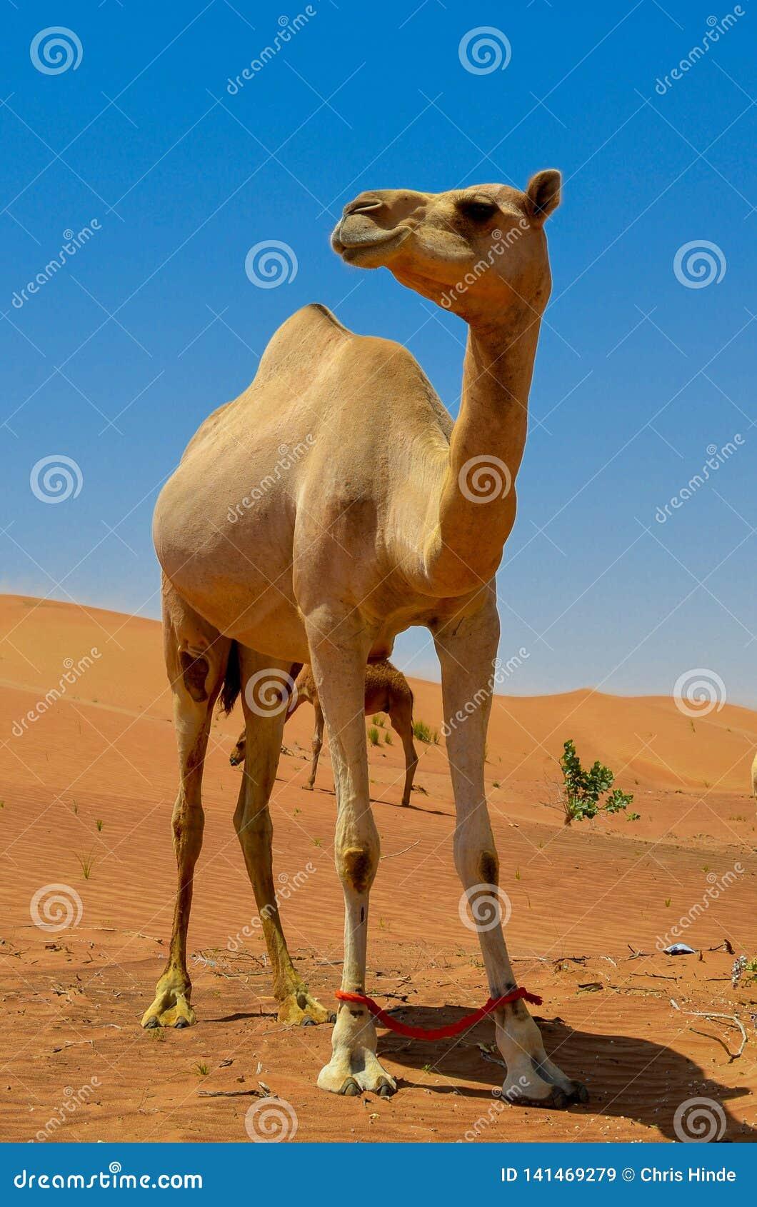 Środkowy Wschód wielbłąd