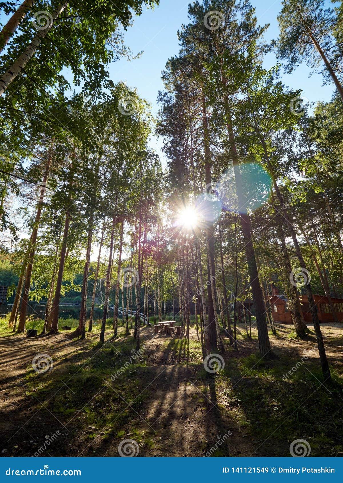 Światło słoneczne przez sosen w jesień lesie