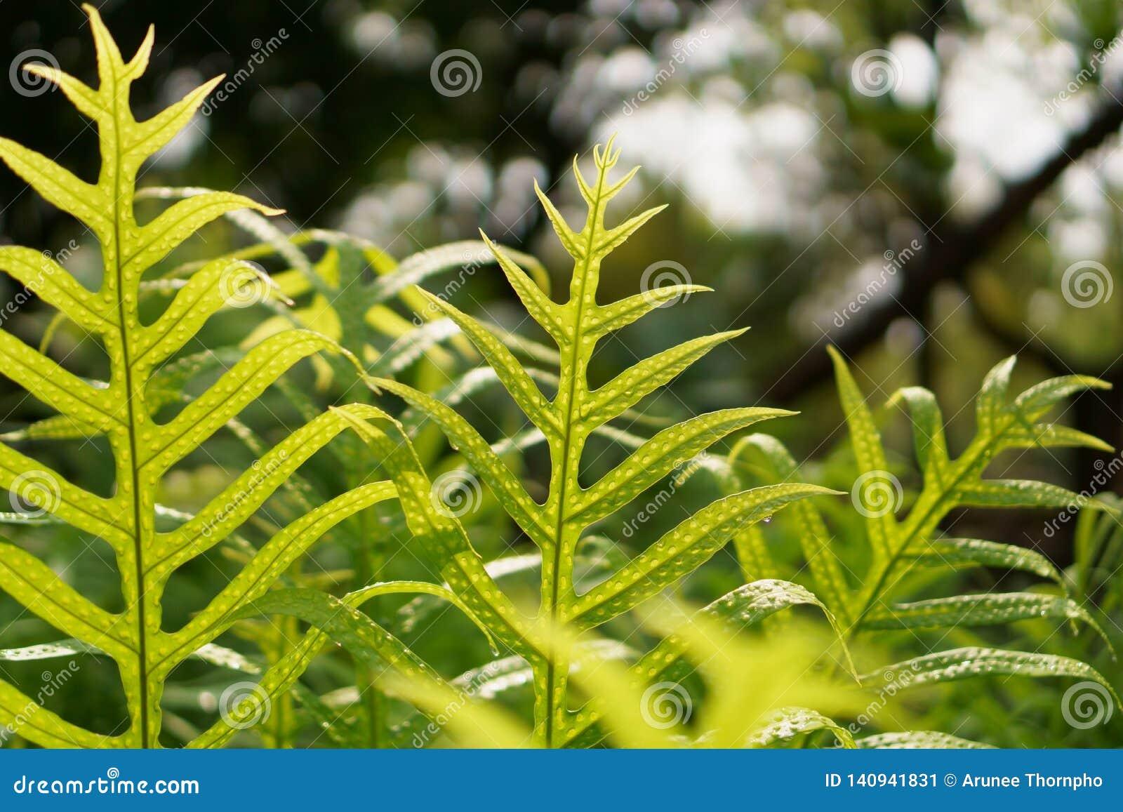 Świeży zielony liść brodawki paproć Hawaje z rosa kroplami pod światło słoneczne rankiem, nazwana monarchiczna paproć lub piżmo p