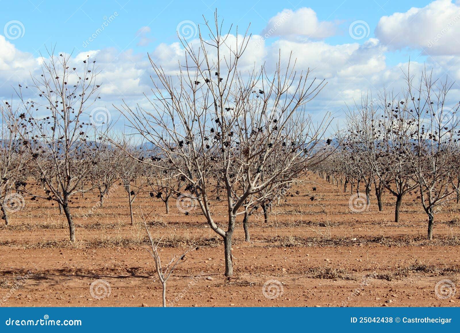 åkerbruka arizona trees