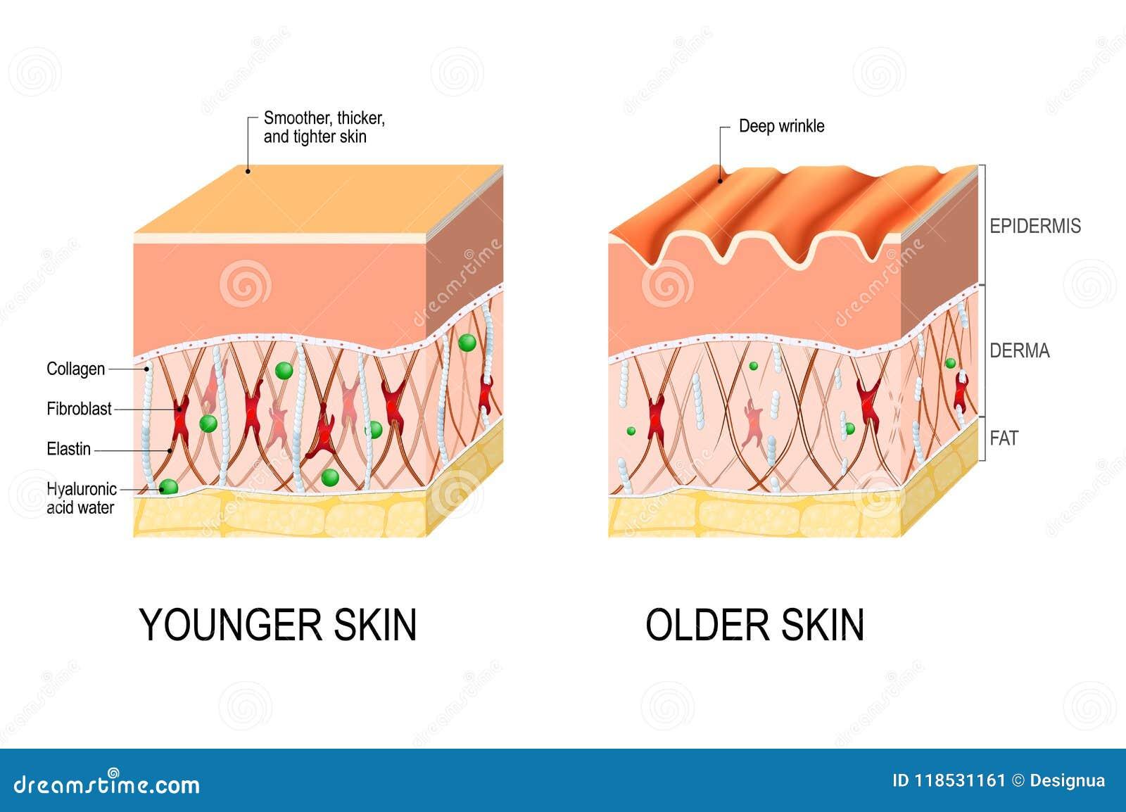 elastin i huden