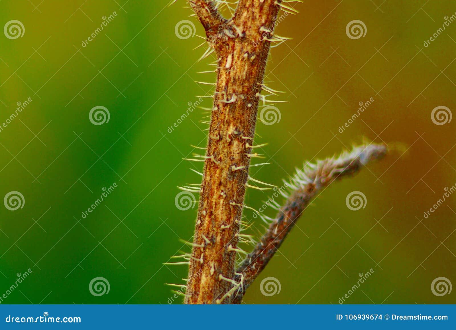 årlig gräs- växt som är typisk av den italienska halvön