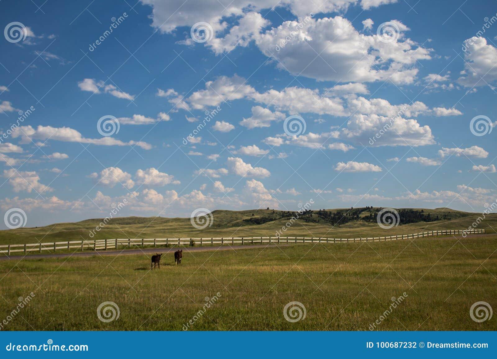 Åsnor som går in mot staketet i Custer State Park South Dakota