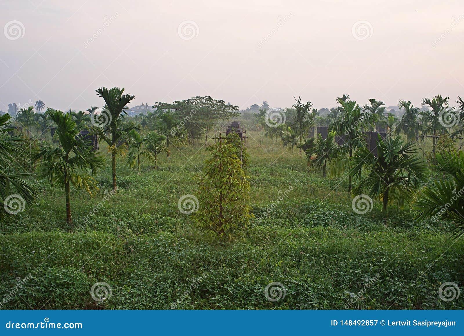 Åtskilligt croping system, durianfrukt att växa togatehr med arecamuttern
