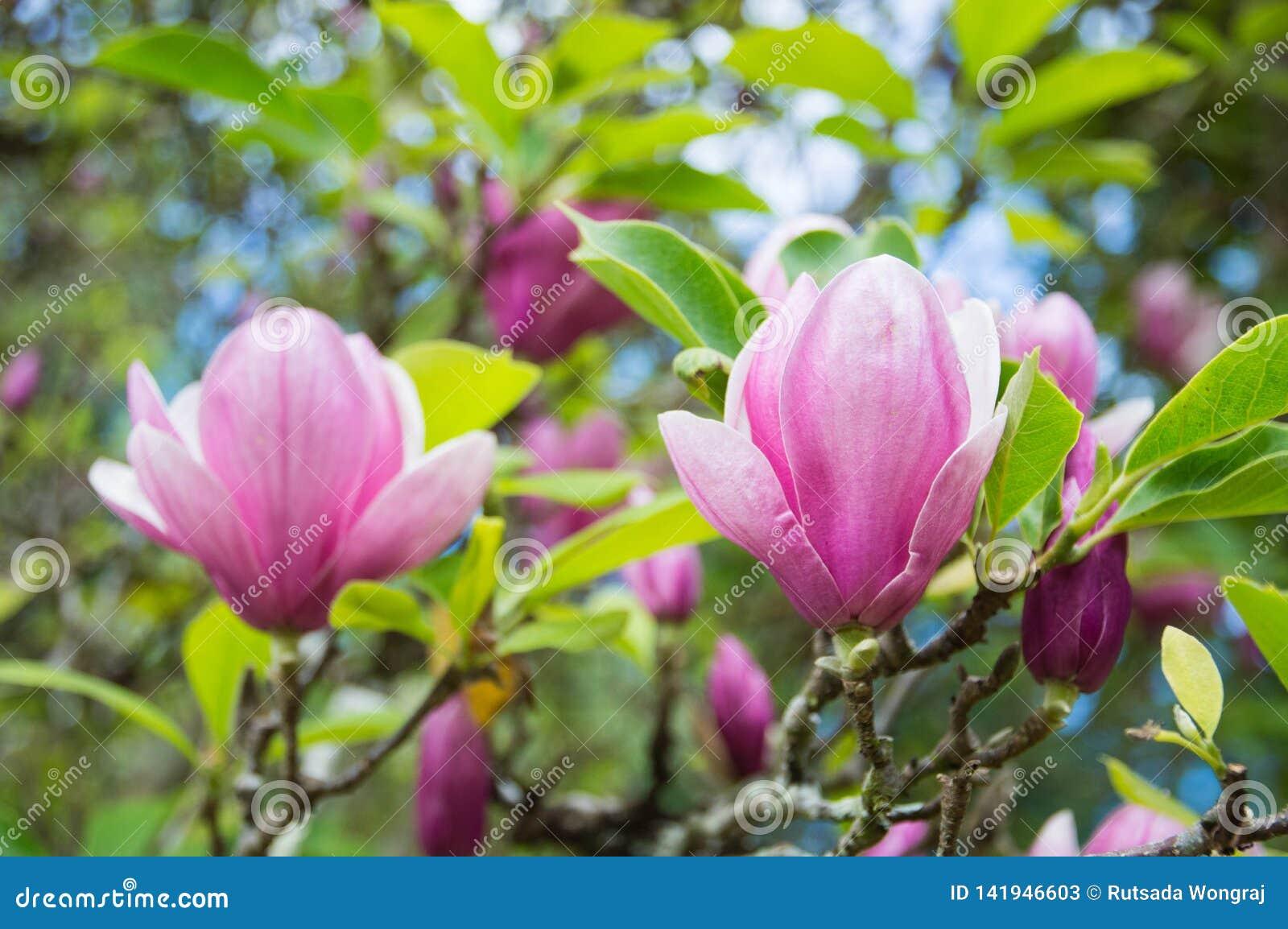 桃红色木兰花在庭院里