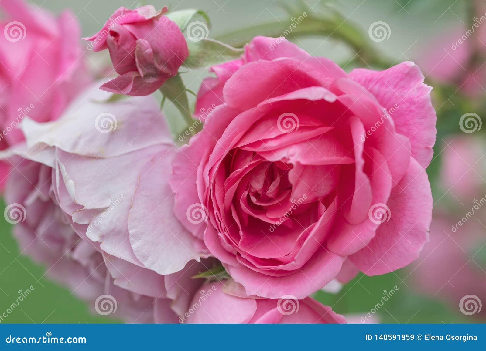 桃红色玫瑰在庭院里