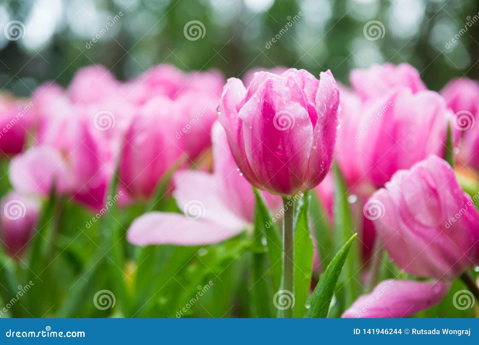桃红色郁金香在庭院里