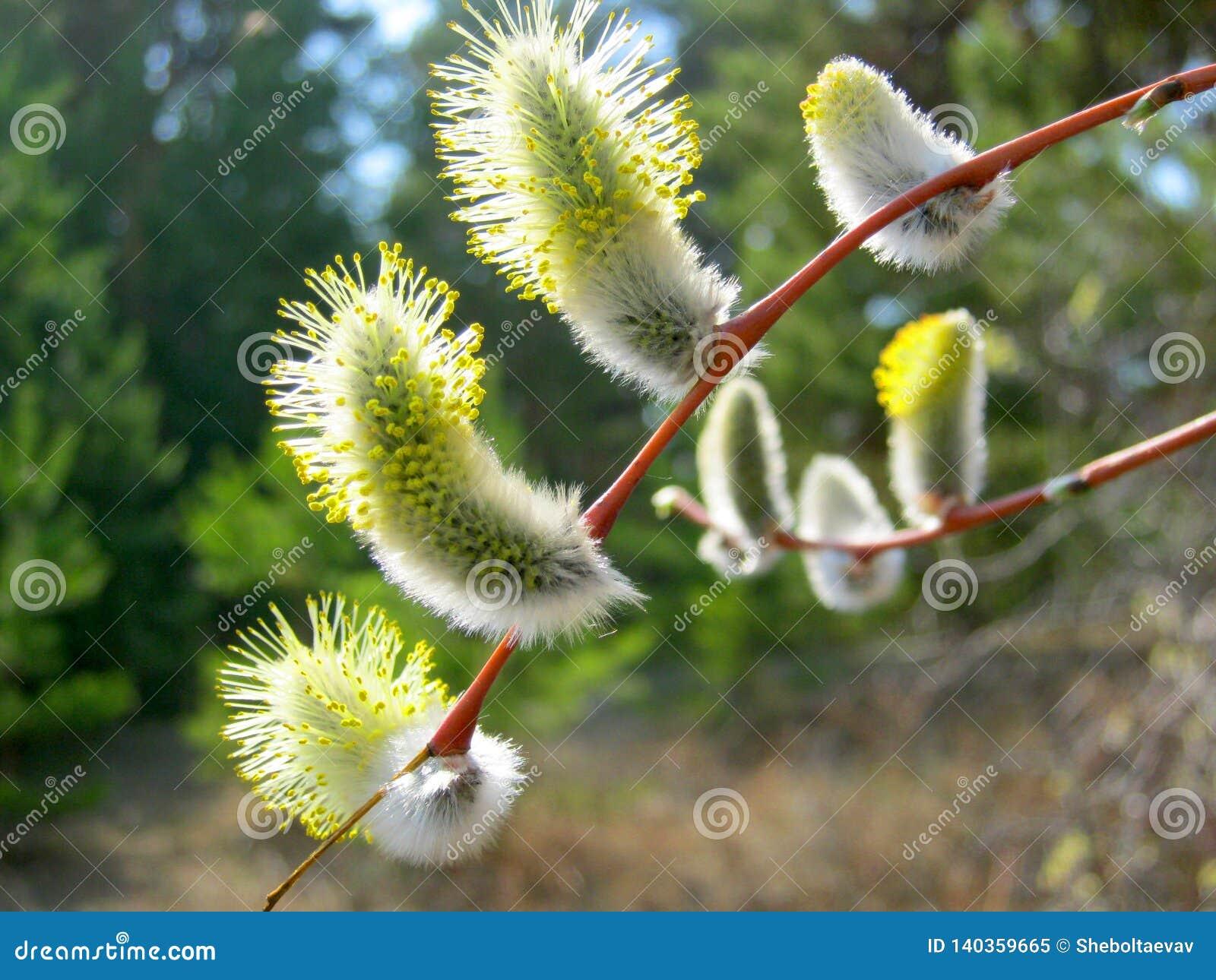棕枝全日 在自然情况的开花的杨柳 杨柳的黄色白的芽在花粉特写镜头的