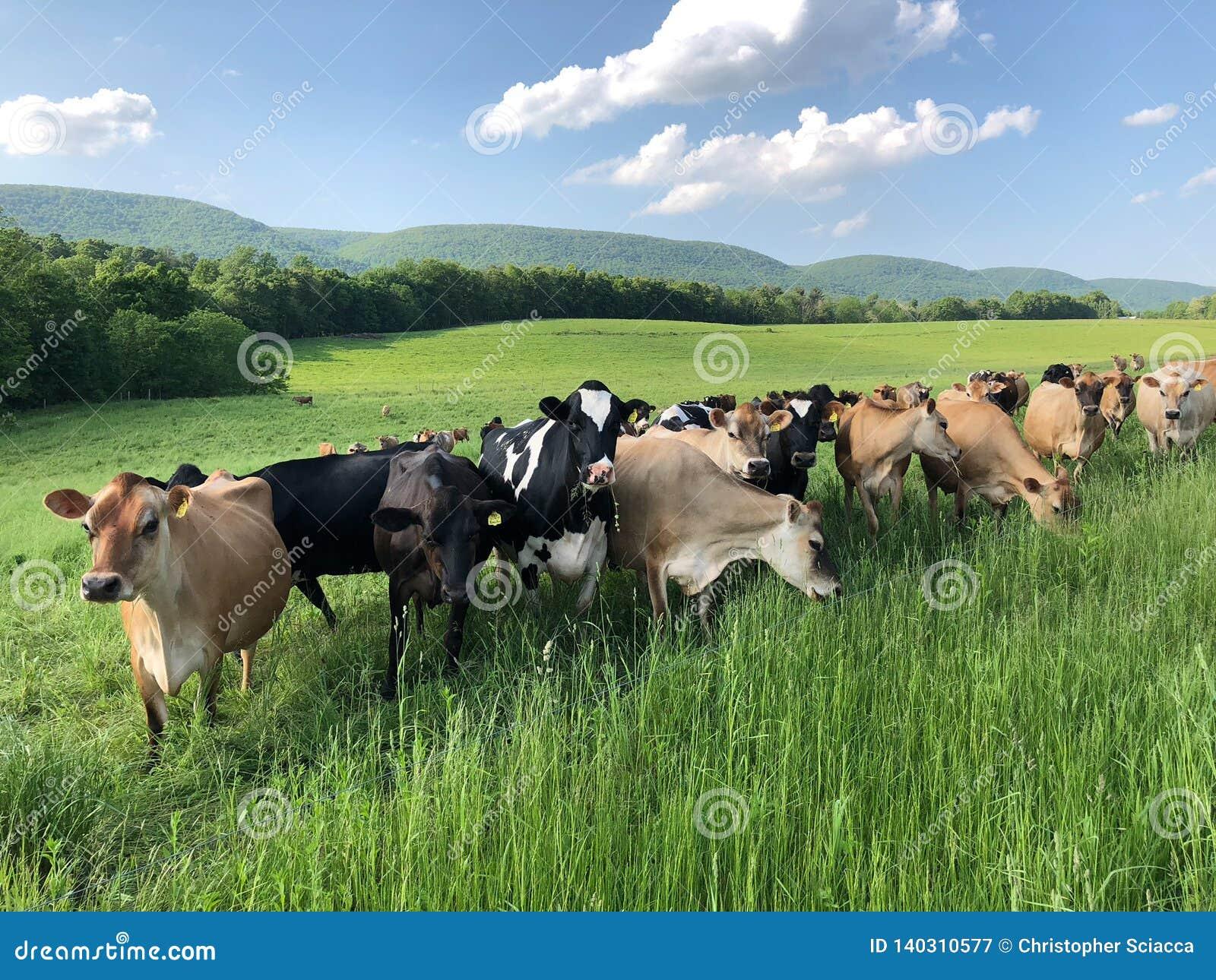 母牛牧群在好奇和摆在为他们的图片的领域的