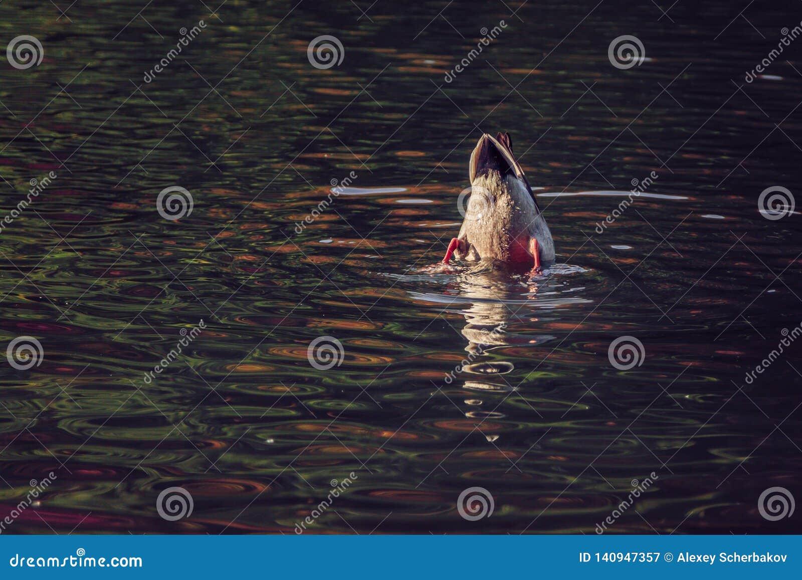 水面上鸭子的尾巴
