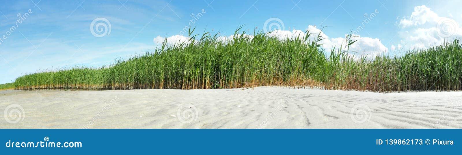 沿银行的波儿地克的海芦苇